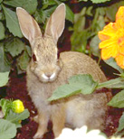 Wild Rabbit Photo1